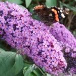In de vlinderstruik
